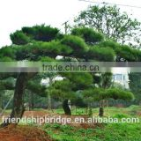 Pinus Thunbergii Parl. Black Pine Seedlings