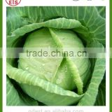Chinese high quality fresh green cabbage