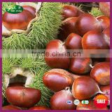 2015 New Organic Chinese Fresh Raw Best Halal Chestnut - Raw Material of Roasted Peeled Chestnuts - for Sale