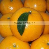 Kino Mandarin Tangerine Orange Citrus fruit from Pakistan