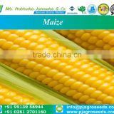 Export Quality Maize Seeds