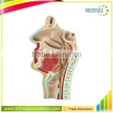 Mouth Nose Throat Pharynx Teaching Model Human Body Anatomy ENT Model