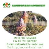 Natural plant extract Acteoside/Cistanche Tubulosa Extract