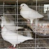 Metal racing pigeon cages for sale