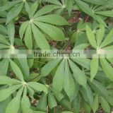 Cassava Leaf Grade A From Vietnam