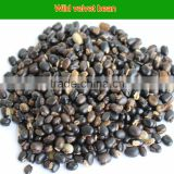 High purity nature velvet bean seed for long time sex and cure premature ejaculation