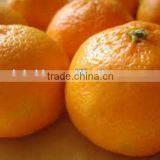 Chinese orange valencia late fresh citrus