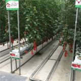 Hydroponic Greenhouse for Large-Scale Tomato Production
