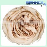 Hobby lobby wholesalereal natural preserved austin roses everasting roses with Champagne Color