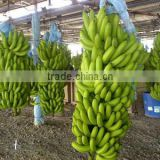 Fresh Banana - Frozen Banana- High Quality and Best Price