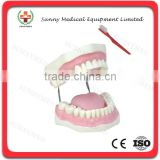 SY-N019 School Larged training tooth brushing Dental Care Model