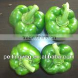 10/15kg carton bags 2013 new crop Chinese Green Sweet Pepper