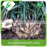 Chinese mature fresh ginger root price