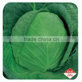 High quality Hybrid cabbage Seeds Kale Seed vegetable seeds for planting-Iron Ball 301