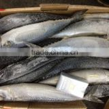 New frozen good quality fish pacific mackerel 500g up