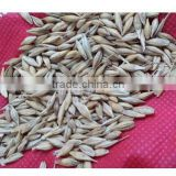 High Quality Healthy Organic Barley Seeds