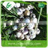 Broiler fresh quail eggs for hatching