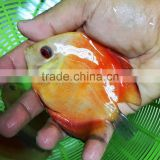 Discus fish farm and export company