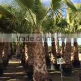 Washingtonia Robusta palm tree