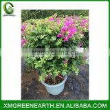 Bougainvillea spectabilis height 50cm