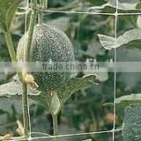 green strong bitter melon climbing growing netting