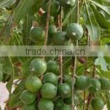 Macadamia nut oil for sales