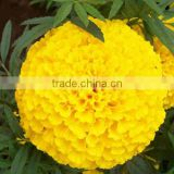 2016 Newly F1 Hybrid Marigold seeds for sale