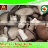 china supplier for sale king oyster mushroom spawn