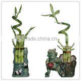 curly spiral lucky bamboo arrangement dracaena sanderiana indoor ornamental aquatic feng shui plants nursery garden decoration