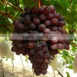 Red concentrate grape juice without food additive