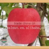 bulk Fresh organic red Fuji apple exporter