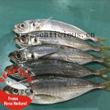 Frozen Horse Mackerel/Jack Mackerel Whole Round
