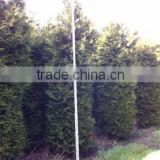 Thuja Brabant Occidentalis A Quality