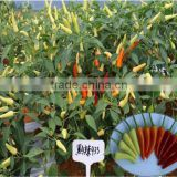 New hybrid F1 white red pepper chilli seeds for growing-993