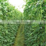 Chinese grreen long cowpea seeds good quality bean seeds
