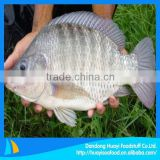 frozen fish tilapia