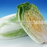 CHINESE FRESH GREEN CABBAGE FLAT TYPE LONG SHAPE