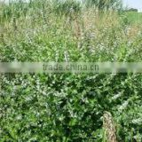 Professional Factory Supply Good Quality Mentha Aevensis 50% Dementh OiIsed