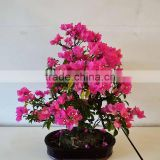 Bougainvillea for rive side landscape