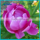High quality natutal tree peony bark extract benefits 98% 99% paeonol