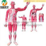 Human Anatomical whole body muscle dissection model with organ                                                                                                         Supplier's Choice