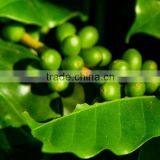 Weight Loss Green Coffee Bean Extract with Chlorogenic Acids