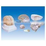 Brain model ,Brain and the right half side of cerebral vascular