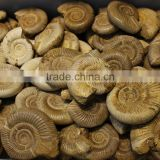 wholesale natural snail fossils ammonite fossils for sale