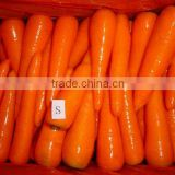 baby carrot fresh from Chinese carrot exporter