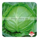 F1 Hybrid cabbage Seeds kale seeds for growing-Dong Li 40