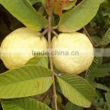 Fresh yellow Guava