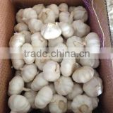 Fresh Indonesian White Garlic & Import China Pure garlic, White Garlic, Ginger & Carrot