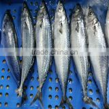 Block Frozen HACCP Mackerel Fish