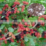 Fruit Tree Seeds Mulberry Tree Seeds For Sale